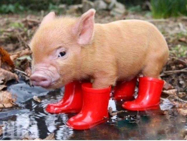 Baby pig wearing rainboots