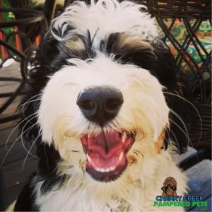 Tips for Grooming Doodles & Poodles at Home Pamper pets