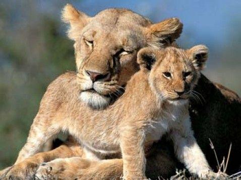 Löwenmama