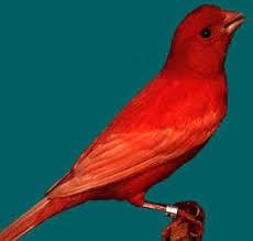 Canario Rojo Intenso Pajaros Canarios Domesticos Canarios Rojos Canarios Pajaros