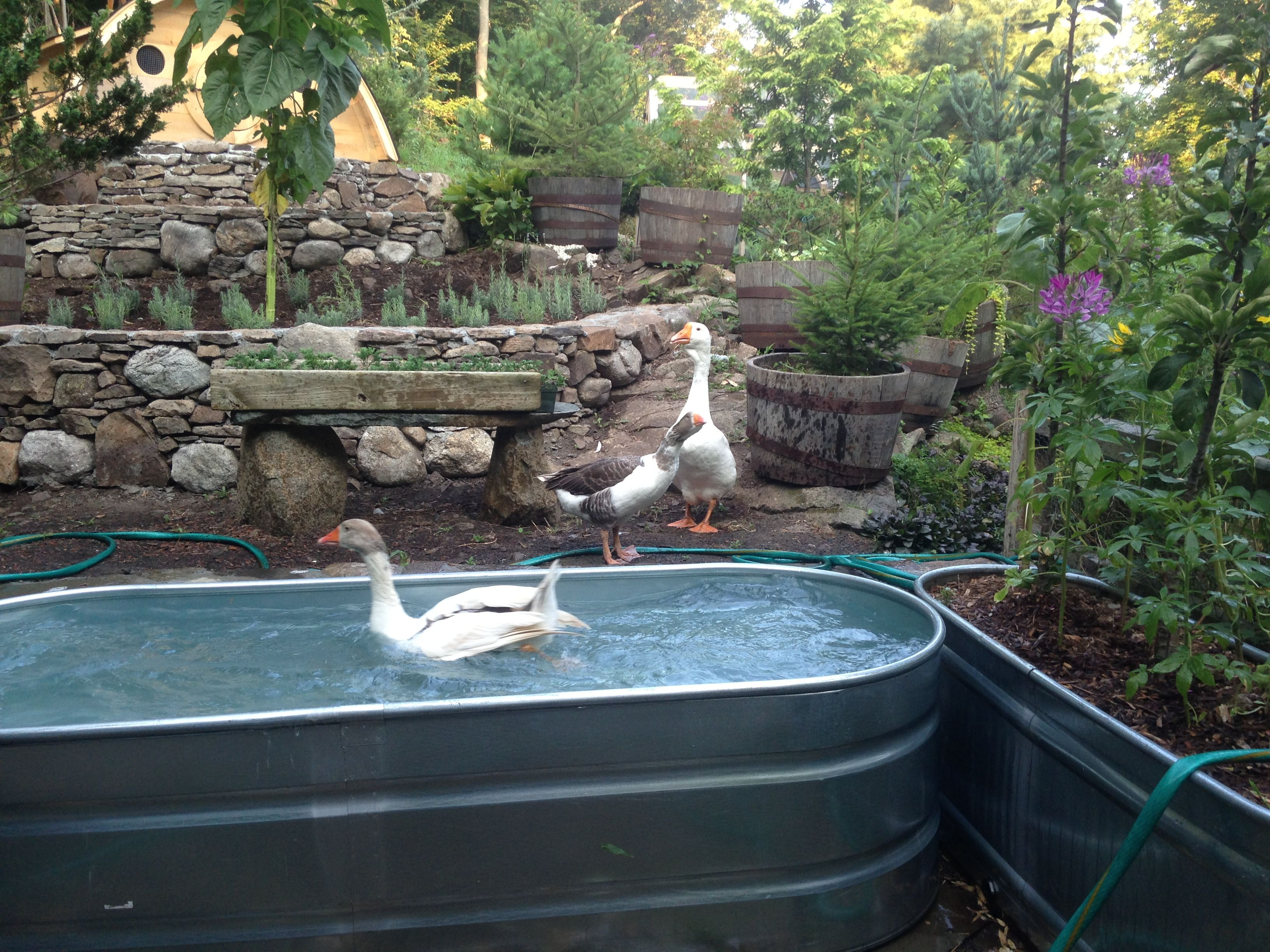 Stock tank goose pond stock tank goose pond pinterest for Aquaponics pond design