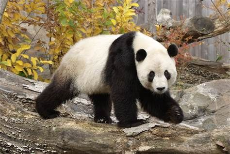PANDA----Google Image Result for http://msnbcmedia2.msn.com/j/MSNBC/Sections/Travel%2520Section/______EDIT/TTK%2520pandas.grid-6x2.jpg