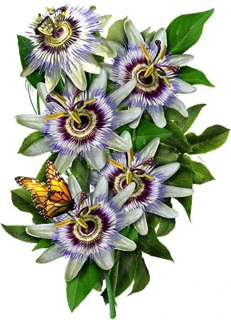 Royal Blue Passion Flower Seeds Passiflora Caerulea In 2020 Passion Fruit Flower Blue Passion Flower Passion Flower