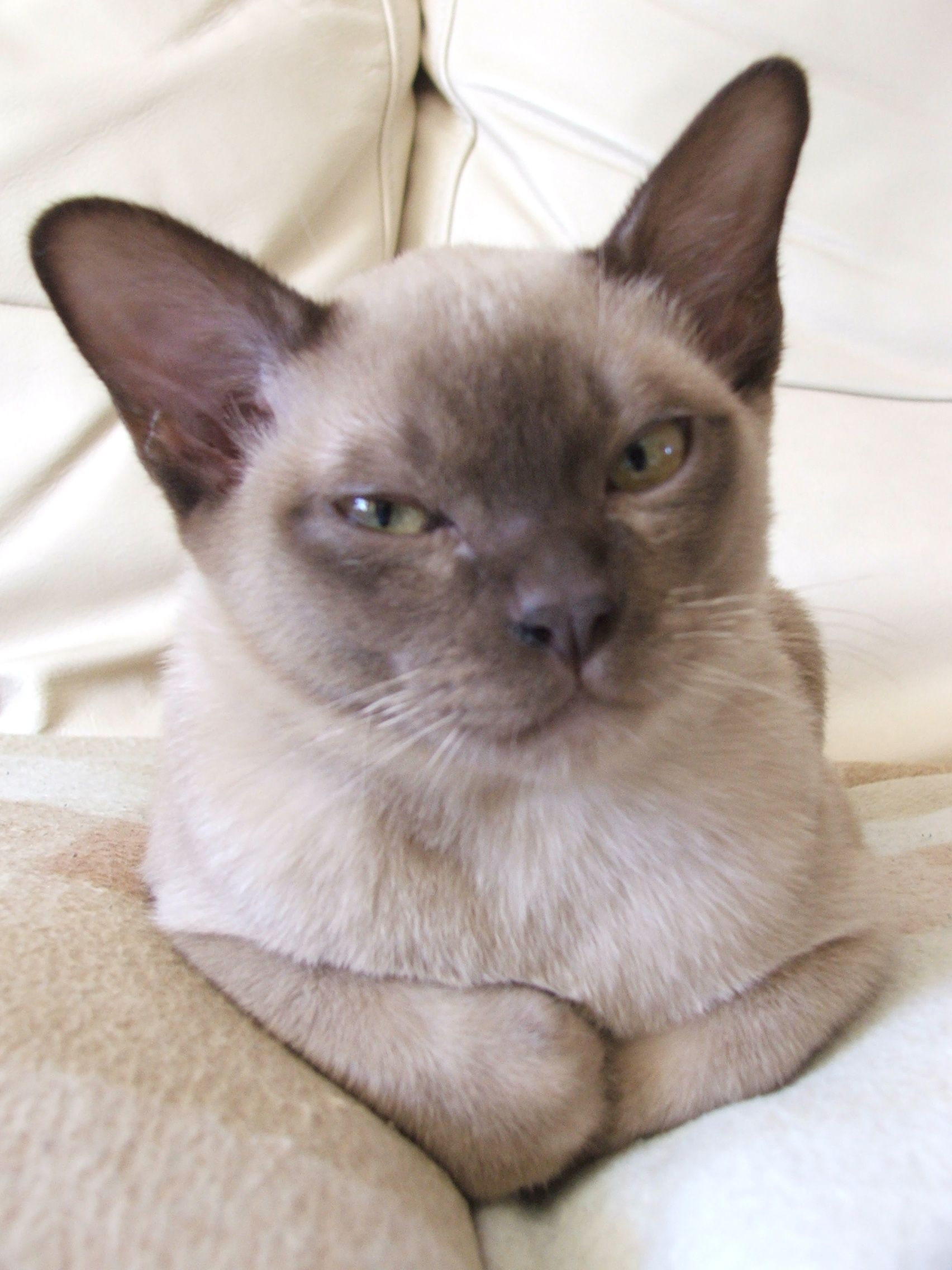 What is this kitten thinking?kitten burmese Burmese