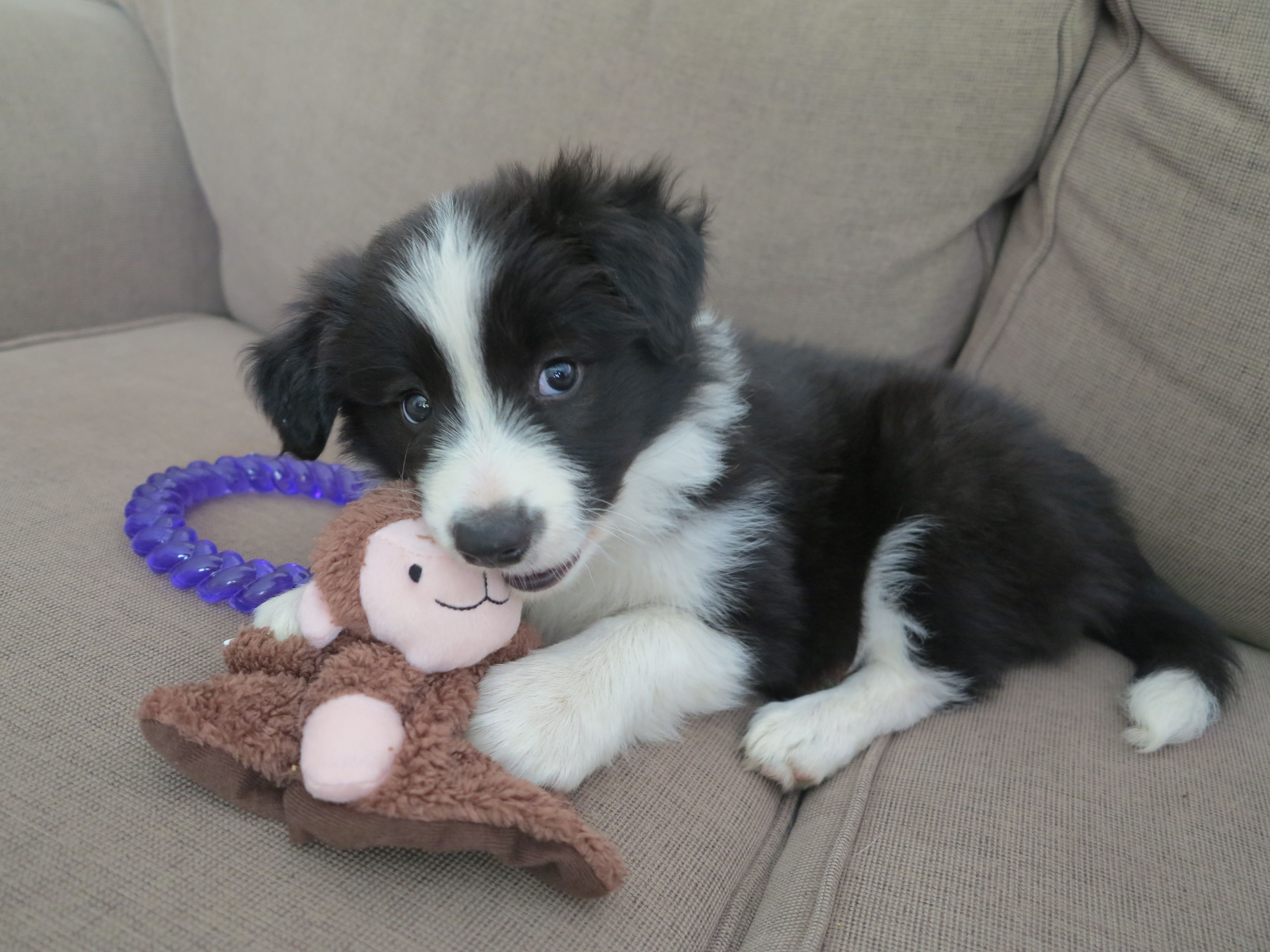 Our New Baby Girl Black And White Border Collie Puppy 3 Loves Her Little Monkey Collie Puppies Border Collie Puppies Puppy Adoption