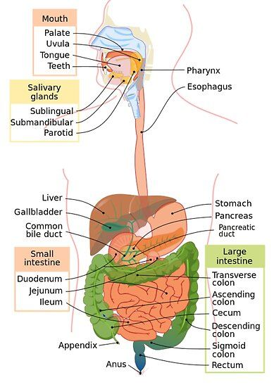 Diagram Of The Human Digestive System Poster By Jimmycdesignz In 2021 Human Digestive System Digestive System Diagram Digestive System