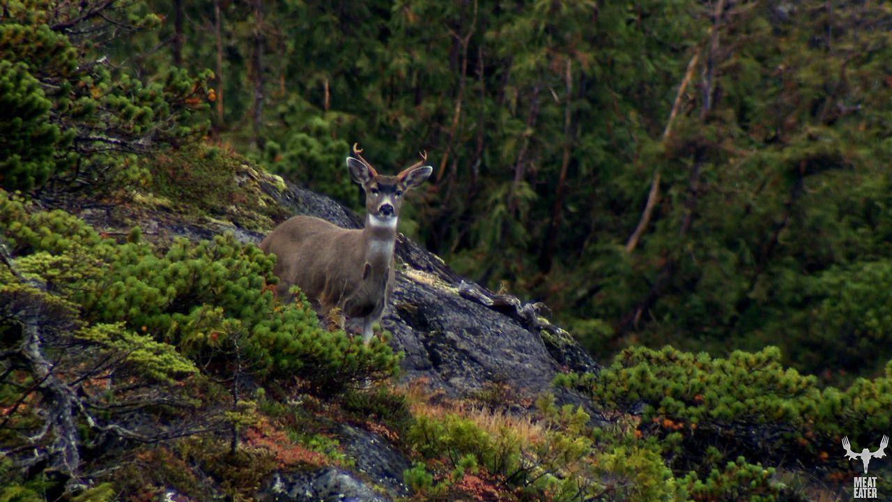 Blacktail deer in the tongas rainforest in alaska