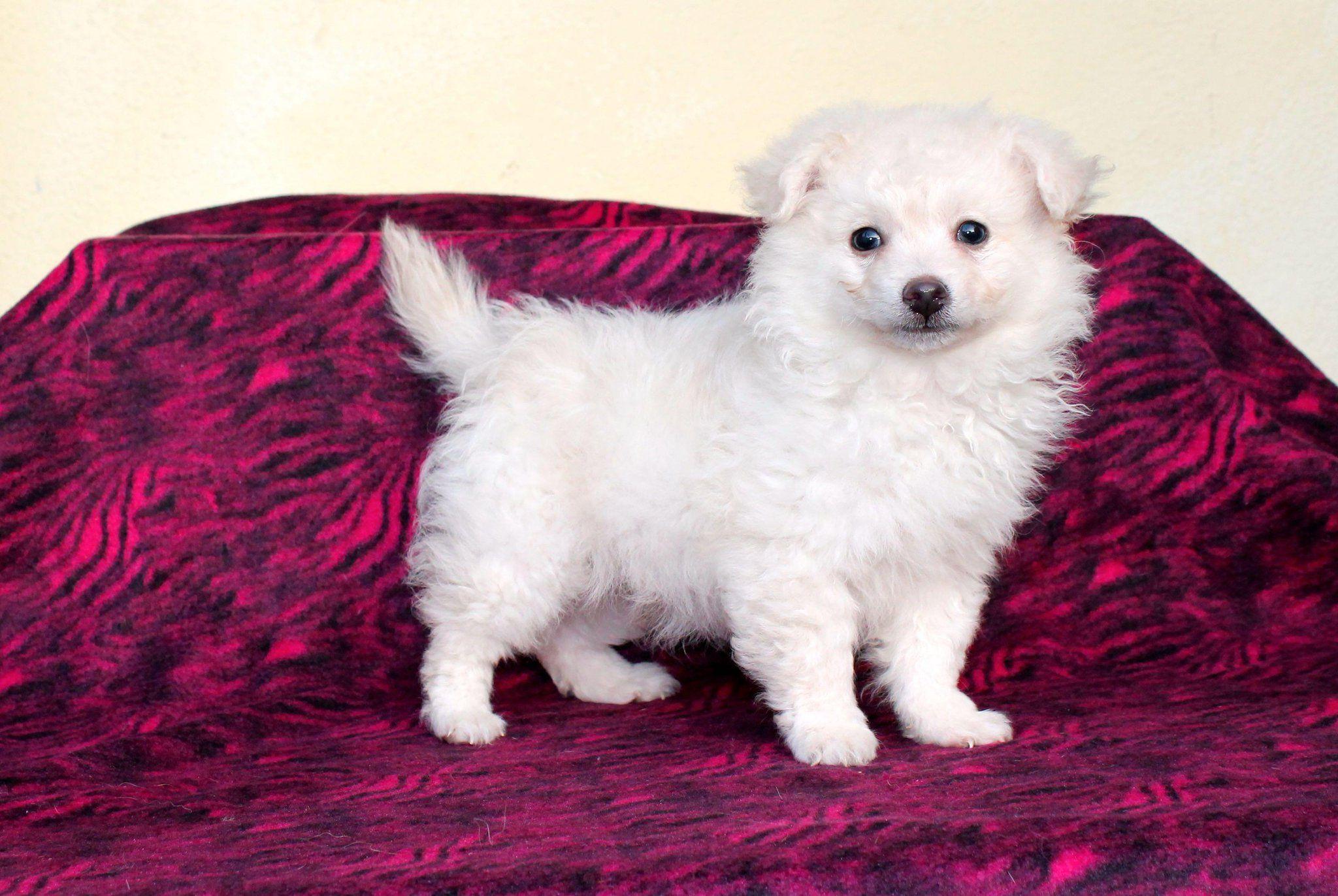 Gayweho Dogs 4 U On Pomeranian Pets Dogs