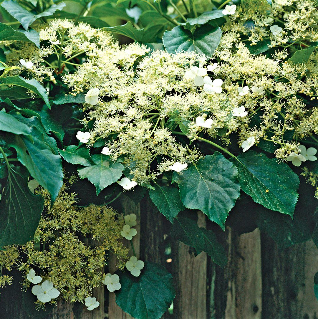 14 Beautiful Perennial Vines That Will Take Your Garden to