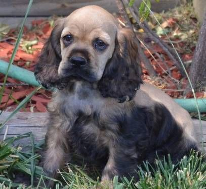 Dogs Puppies For Sale In Colorado Springs Ebay Classifieds Kijiji Page 1 American Cocker Spaniel Cocker Spaniel Dog Spaniel Breeds