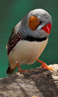 Zebra Finch--their song is their father's song with their own notes added!