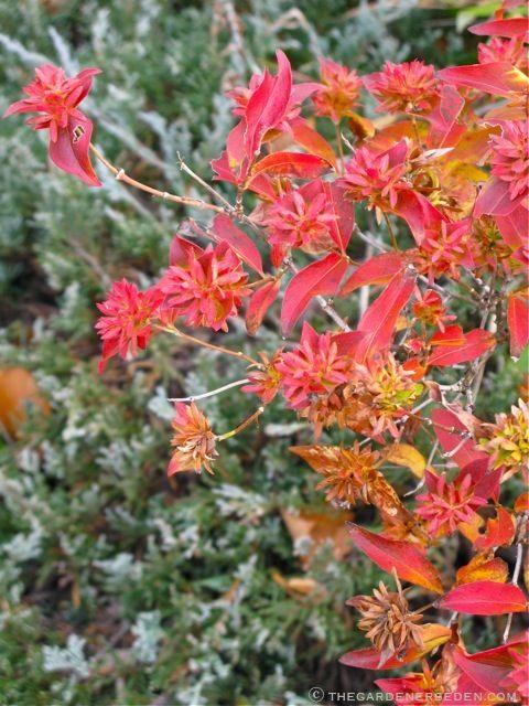 Abelia Mosanensis Plants Trees Shrubs Garden Shrubs