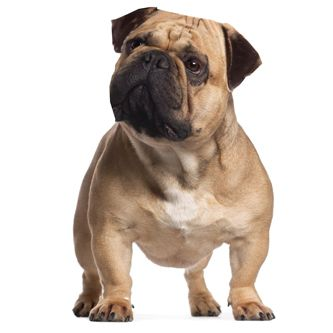 American Bullnese Breeds Mans Best Friend French Bulldog