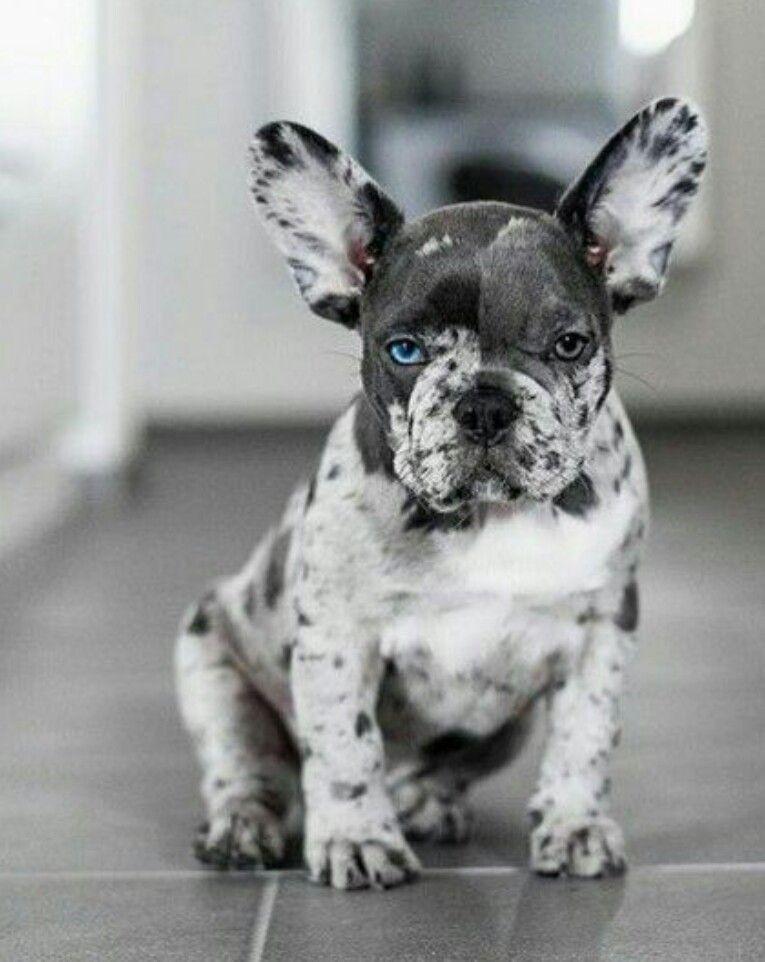 Rare French Bulldog Colors In 2020 French Bulldog Puppies