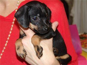 Piper Is An Adoptable Dachshund Dog In Corpus Christi Tx Little