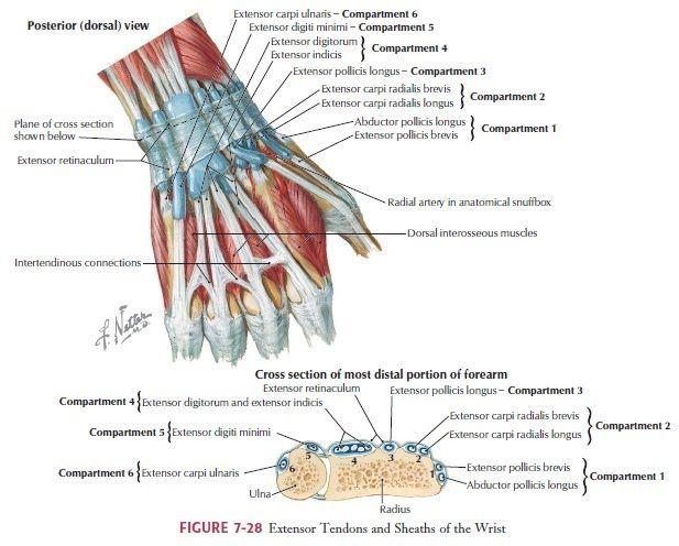 Image result for wrist extensor retinaculum | Human anatomy | Pinterest