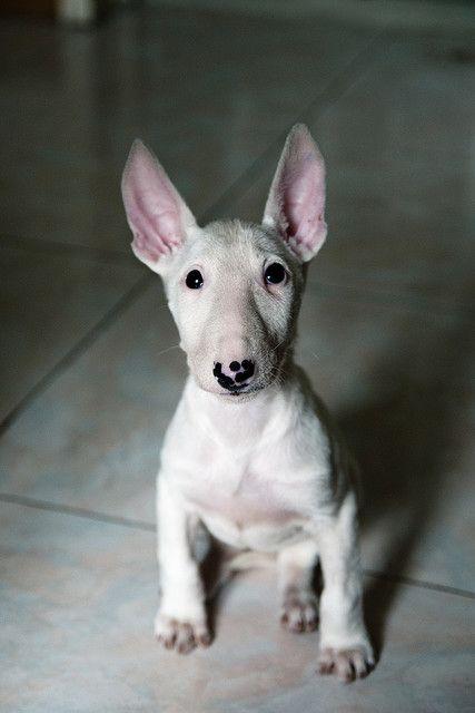 bull terrier <3 aw ears