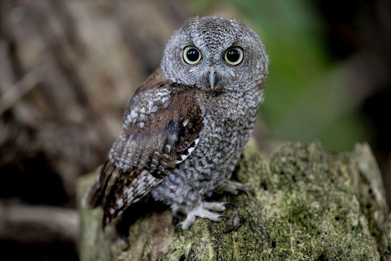 Eastern Screech Owl Baby Pixel Shooter Baby Owls Owl Eastern Screech Owl