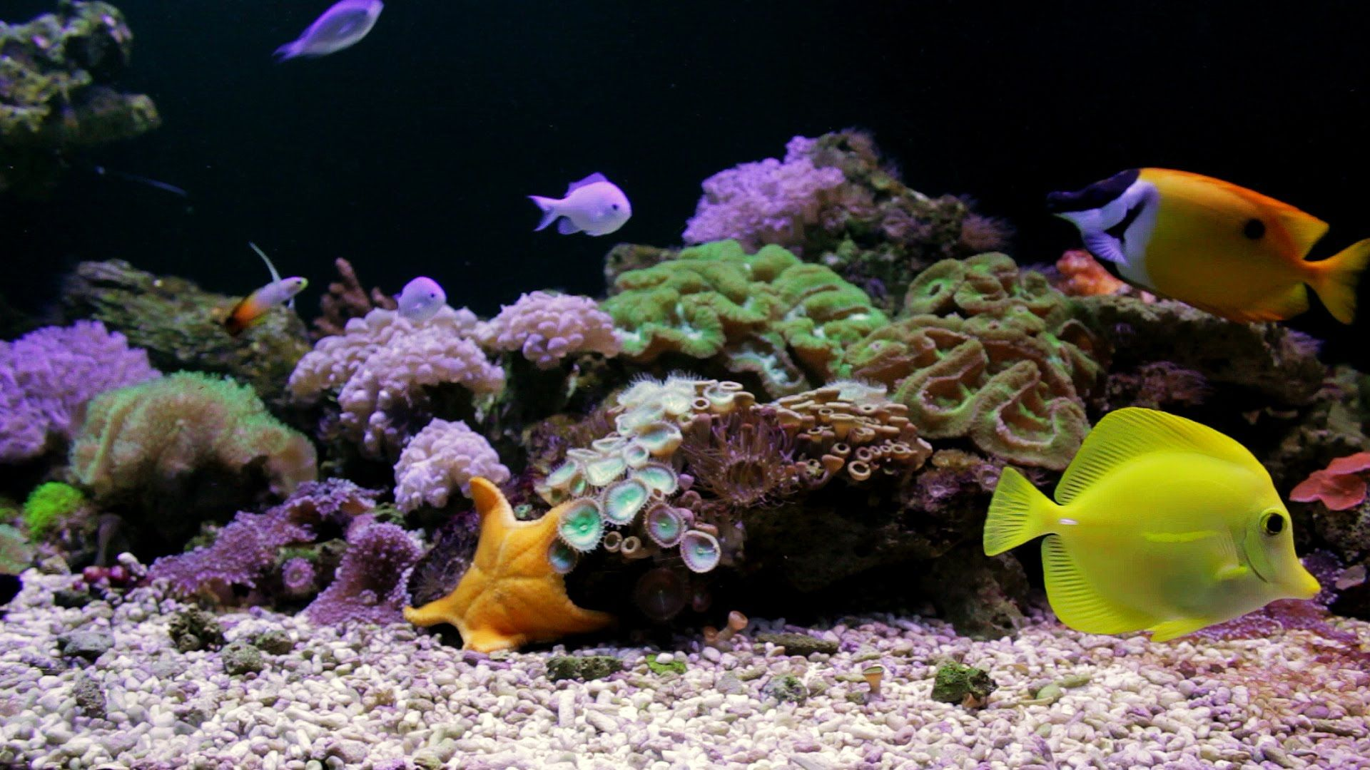Aquarium screensaver fish tank 1080p hd - Aquarium With Starfish Coral Reef Tank Full Hd