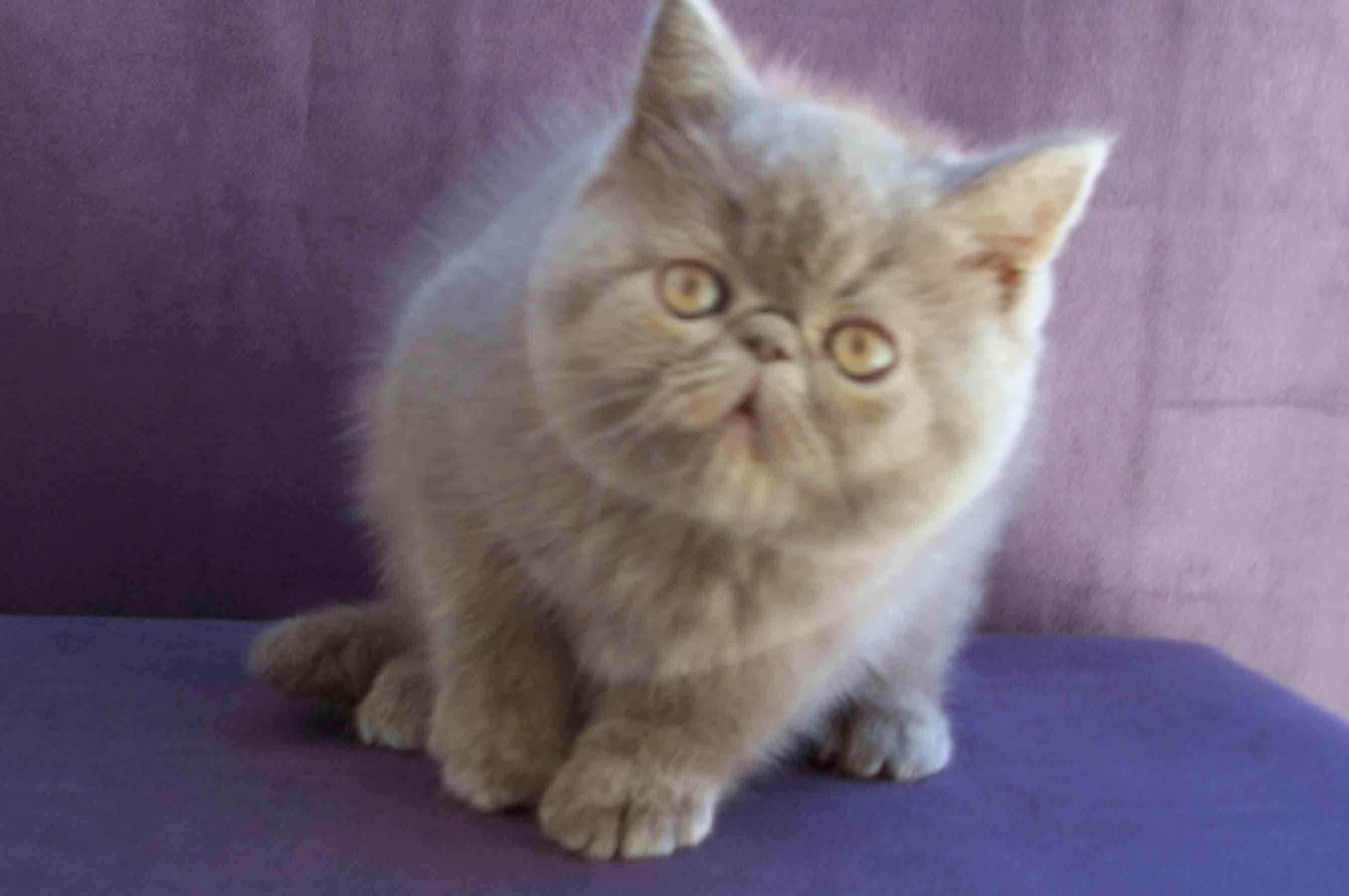 Pin On Phalkean S Exotic Shorthair Himalayan Persian Cattery