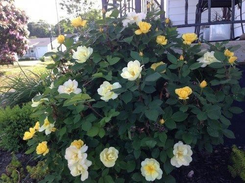 Double-Knockout Rose Bush - Landscape Layering: Perennial Shrubs #landsapeideas #knockoutrosen Double-Knockout Rose Bush - Landscape Layering: Perennial Shrubs #landsapeideas #knockoutrosen Double-Knockout Rose Bush - Landscape Layering: Perennial Shrubs #landsapeideas #knockoutrosen Double-Knockout Rose Bush - Landscape Layering: Perennial Shrubs #landsapeideas #knockoutrosen
