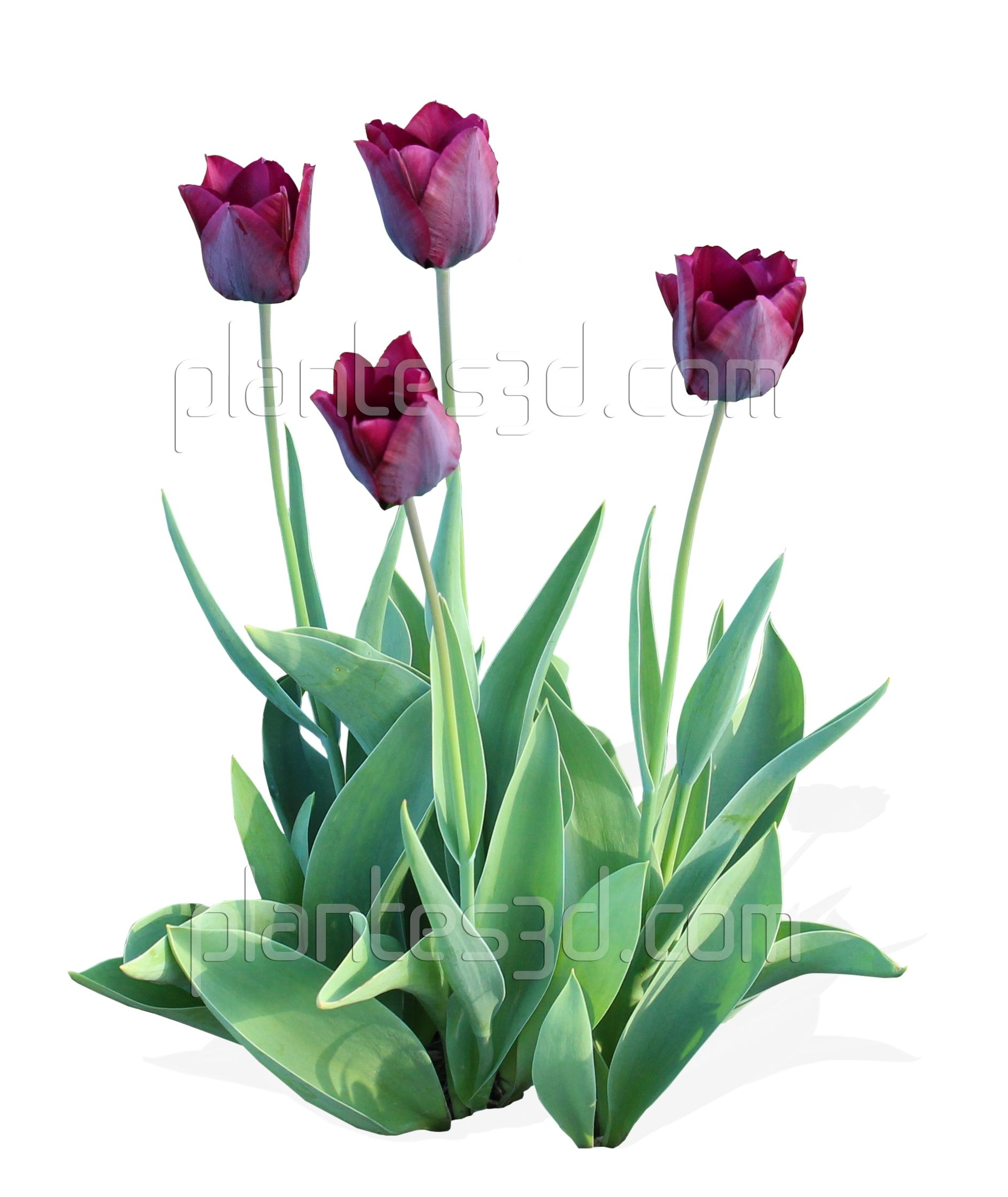 Top view plants 02 2d plant entourage for architecture - Architecture Tulipes D Tour Es Tulip Png