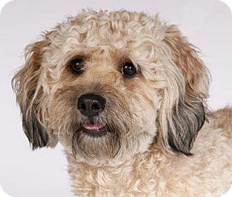 Poodle and Cockapoo mixed Dog for Adoption in Van Nuys