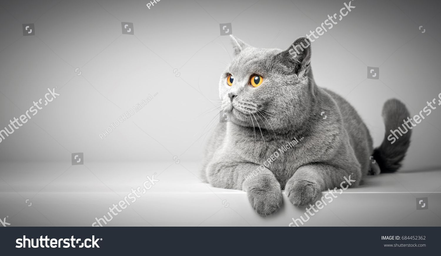 British Shorthair Cat Lying On White Table Looking At Copy Space