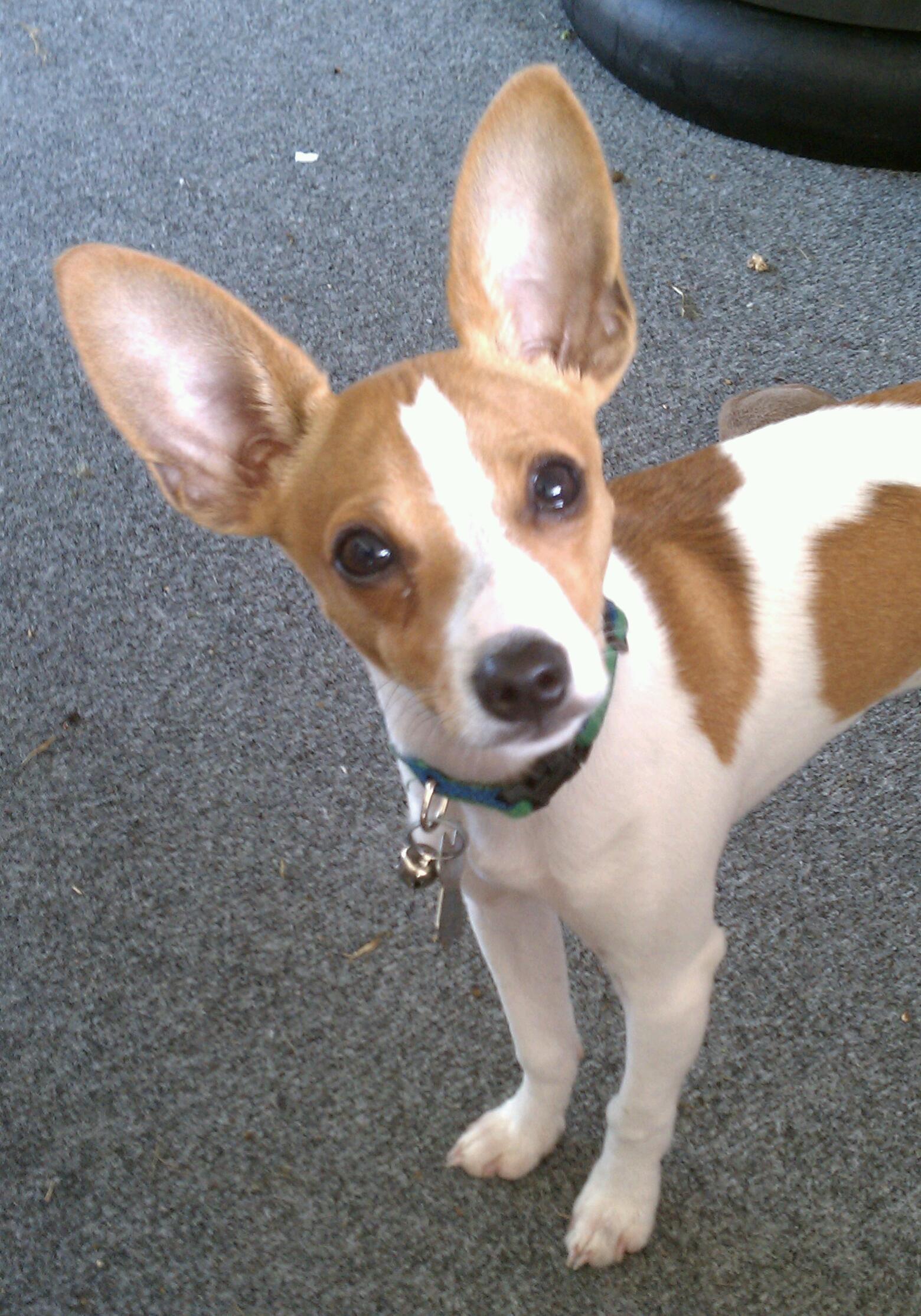 My Jax A Toy Rat Terrier At 5 Months Ratties Pinterest Rat