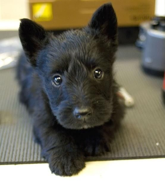Scottish Terrier Puppy.