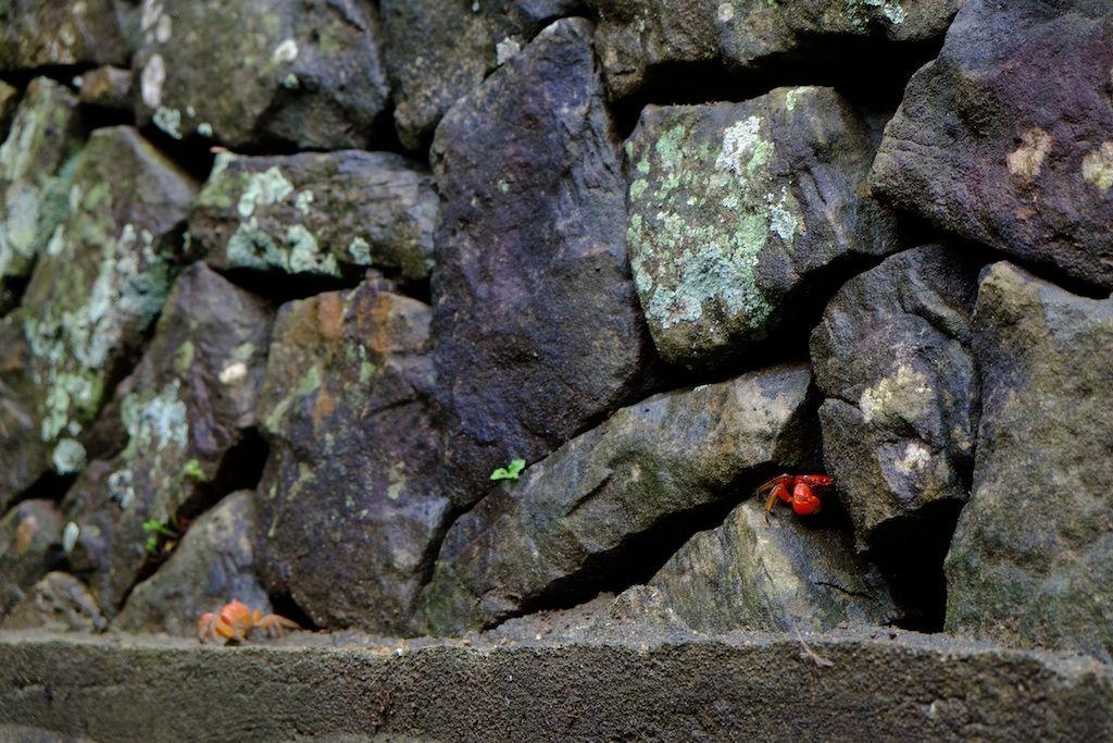長崎 五島列島 頭ヶ島天主堂の石垣に棲むサワガニ。 「かに」は細かく分類すると世界で5000種類を超えるそうですね。