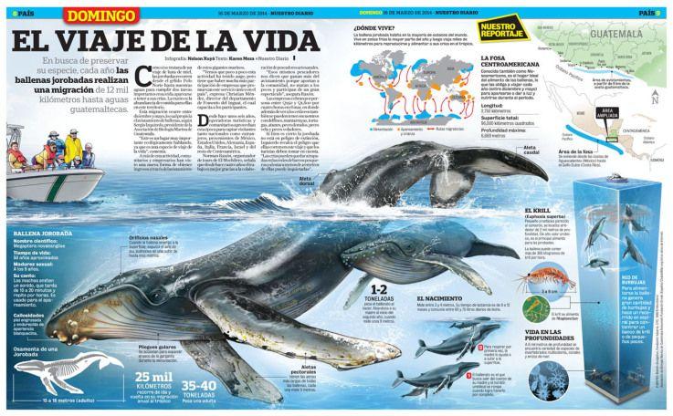 BALLENA JOROBADA 2014 | zoología | Pinterest | Ballena jorobada ...