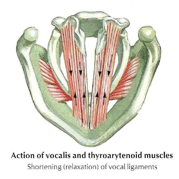 Cómo Puedo Aumentar Mi Resistencia Vocal Canto Anatomía La Voz