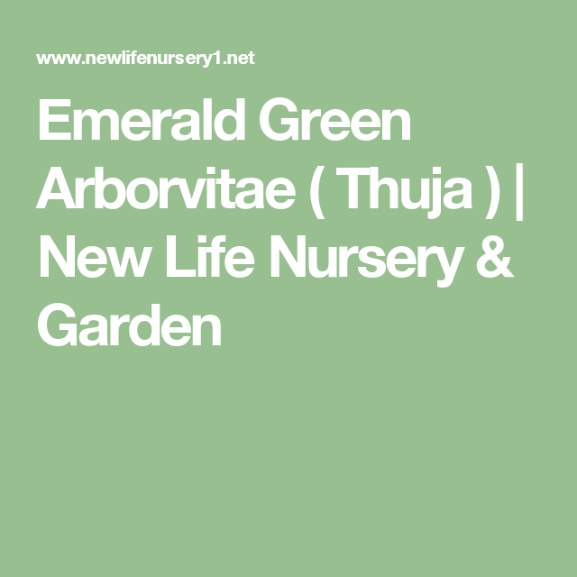 House Emerald Green Arborvitae Thuja New Life Nursery Garden