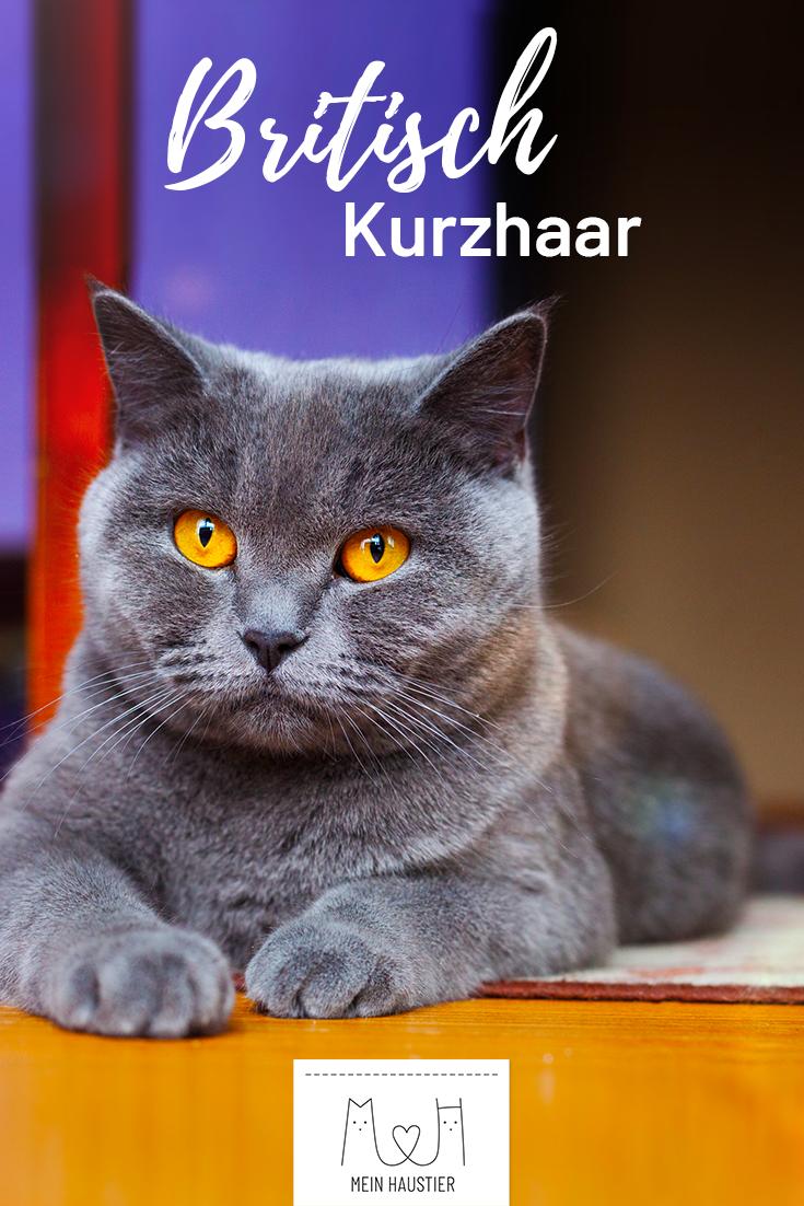 Die großen Augen sowie die freundliche und gemütliche Art machen die Britisch Kurzhaar zu einer der beliebtesten Katzenrassen überhaupt. Hier erfahrt ihr alles, was ihr schon immer über die plüschigen Katzen wissen wolltet.#meinhaustier#katzenrassen#britischkurzhaar#bkh#rassekatze#hauskatze #catbreeds