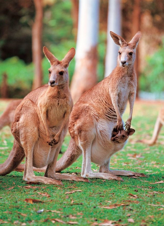Kangaroo with a Joey (baby) in her pouch   Six Unique Animals of Australia