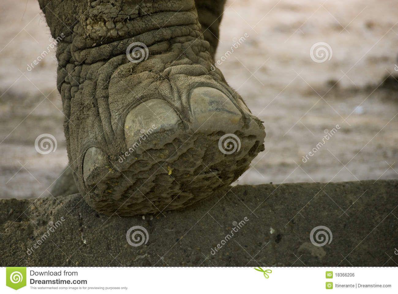 elephant-foot-18366206.jpg (1300×960) | Proboscidea Anatomy ...
