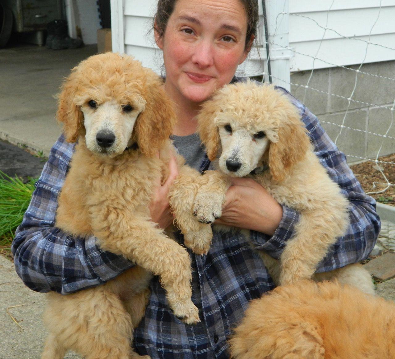 Laura Recommended Breeder Properts Way Poodle Golden