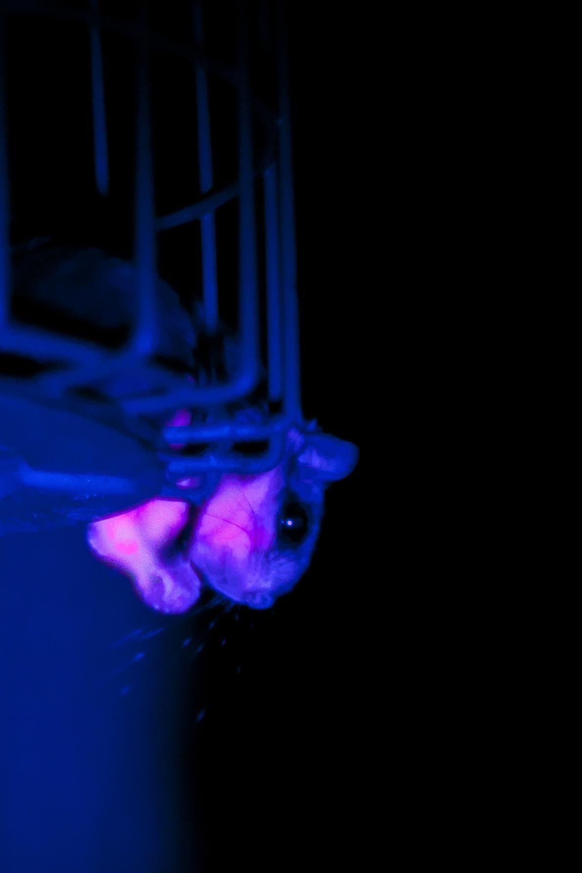 Flying Squirrels Secretly Glow Pink Thanks To Fluorescence Flying Squirrel Squirrel Wildlife Biologist