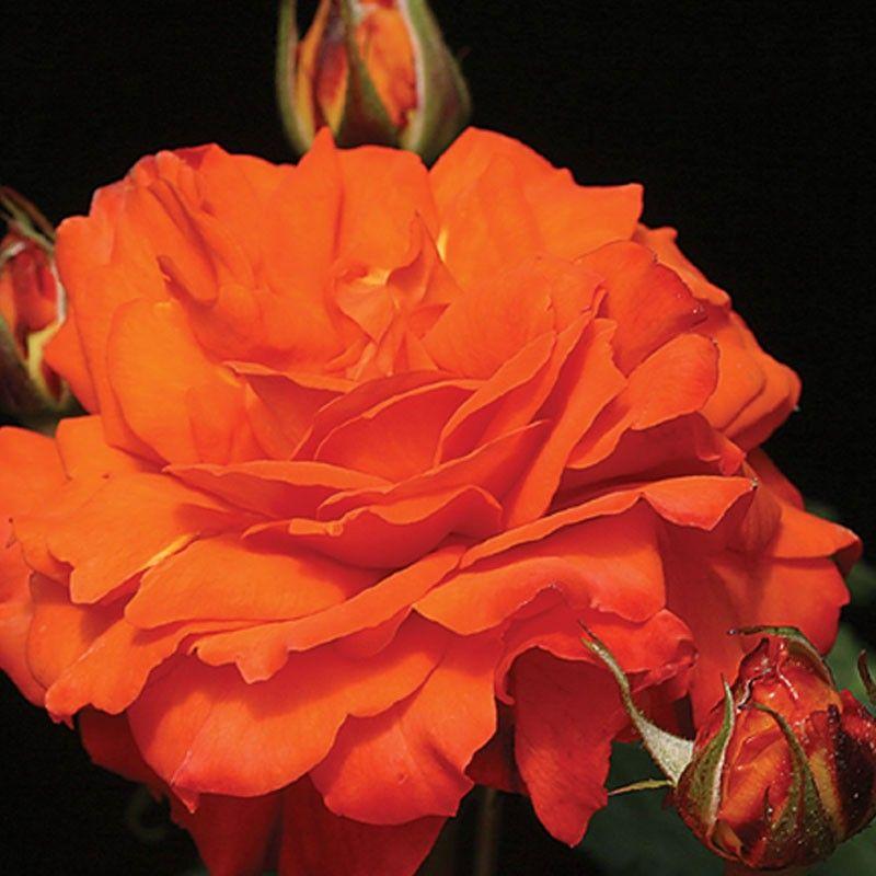 Bright Fire Climbing roses, Heirloom roses, Beautiful