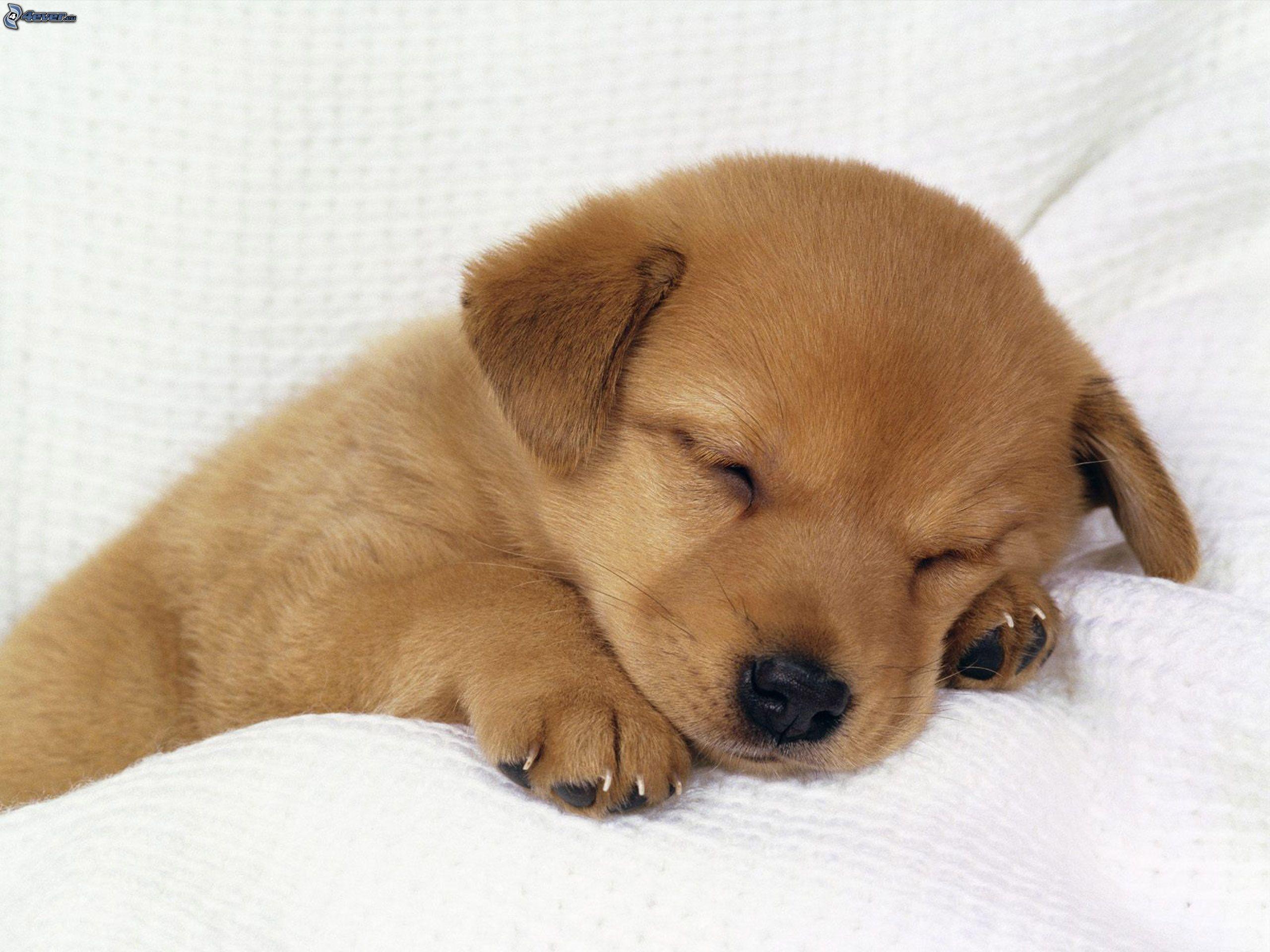 Cute Sleeping Golden Retriever Puppies