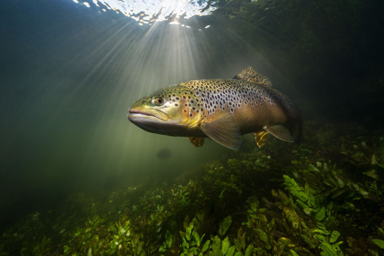 Brown Trout sunburst by Paul Colley on 500px