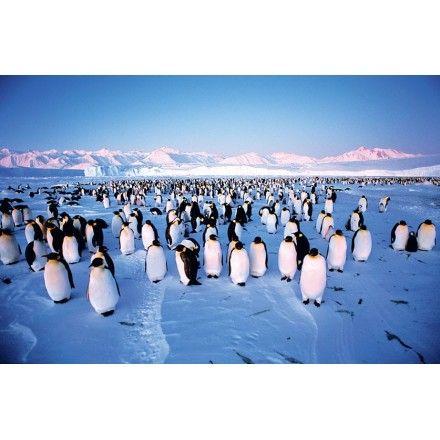 Puzzle Colonia de Pingüinos, 1000 piezas, Clementoni   http://sinpuzzle.com/puzzle-1000-piezas/323-puzzle-colonia-de-pinguinos.html