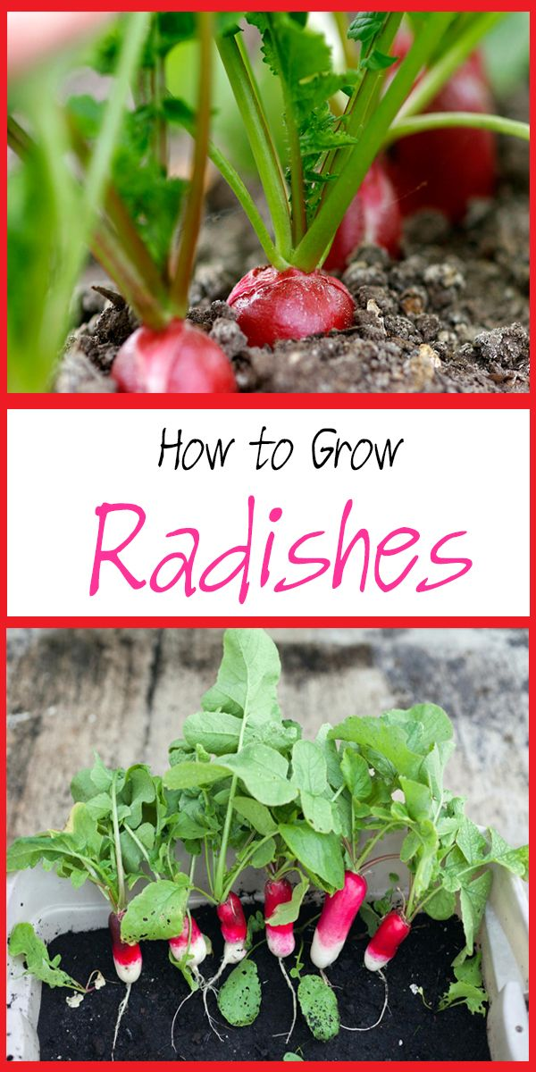How to Grow Radishes in Your Garden Tips for growing radishes from seed, how to transplant and care for radish seedlings, when and how to harvest radishes