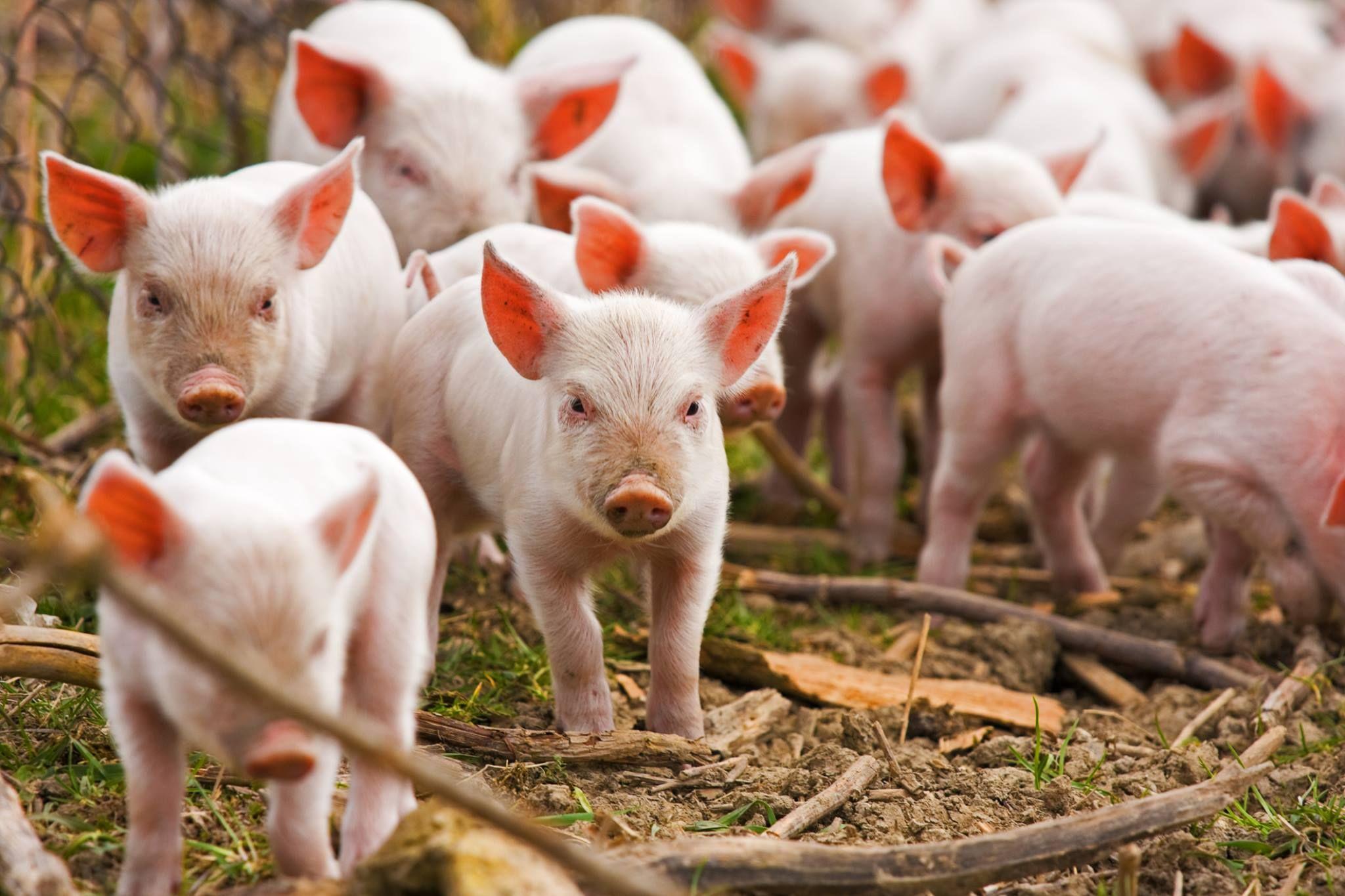 Lechones Cría de cerdos, Nombres para cachorros, Porcino