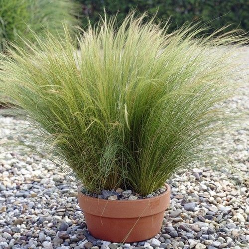 Buy Stipa tenuissima Ponytails - Best Value for Money