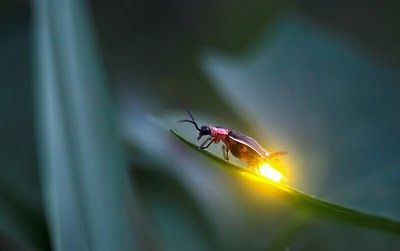 Image result for insect that glows and blinks