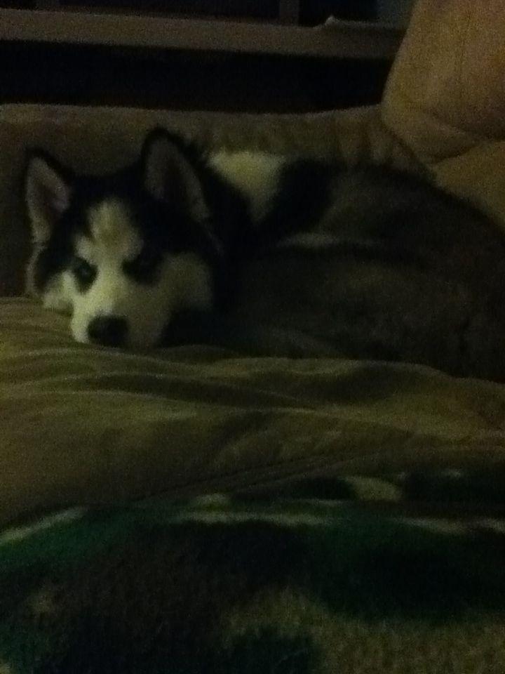 He is the cutest husky