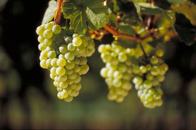 The Weissburgunder (White Burgundy), known in France as