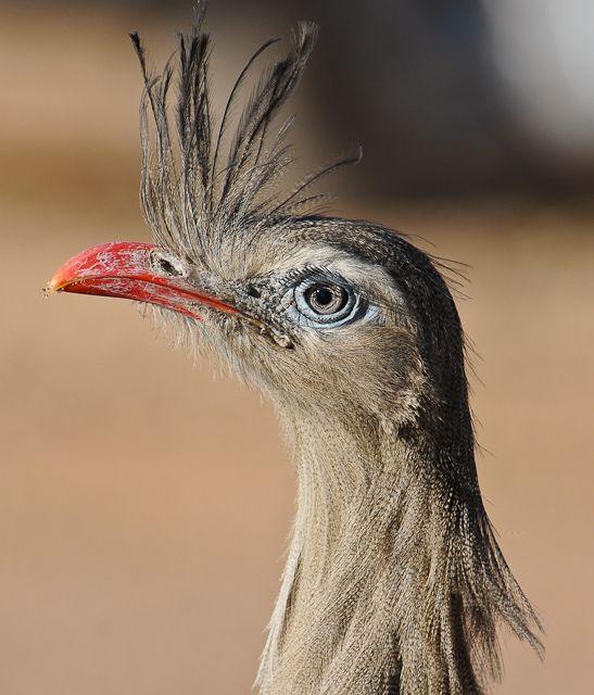 Foto seriema (Cariama cristata) por Margi Moss   Wiki Aves - A Enciclopédia das Aves do Brasil